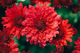 beautiful fall flowers wallpaper 50