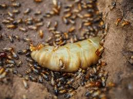 23+ Different Types Of Termites Background