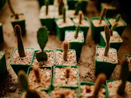 how to grow cactus from seed cactusway