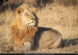 Charleston Lion Pride male. Aug 26... - Lions of Sabi Sand | Facebook
