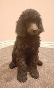 standard poodle puppies dogs