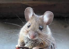 صور فأر معلومات عن الفأر واشكاله بالصور