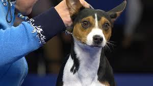 Rat Terrier, 2018 National Dog Show ...