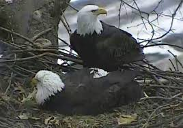 Bald eagle pair in Hays welcomes second egg | Pittsburgh Post-Gazette