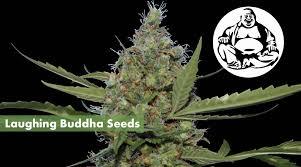 laughing buddha seeds