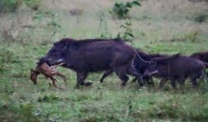 feral swine decreasing but still pose a