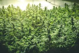 White Buffalo Cannabis Strain Review - IHF LLC