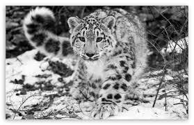 snow leopard wallpaper picserio