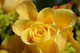 وردة صفراء مع قطرات الندى صور ورد وزهور Rose Flower Images