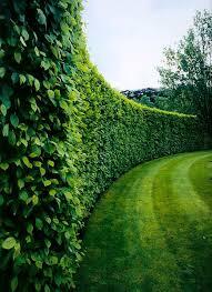 American Boxwood Garden Hedges Privacy Landscaping Landscape Design