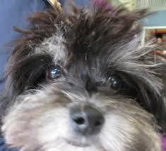 binky the pomeranian poodle puppy
