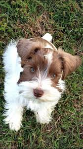 Pin by Jaclyn Peterson on Puppies in 2020 | Schnauzer puppy, Miniature  schnauzer puppies, Schnauzer dogs