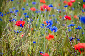 how to sow wild flower seeds thompson