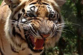 How Are Rich People Able To Buy Exotic Pets Like Tigers