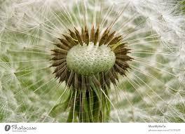 dandelion nature plant a royalty free