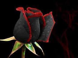 wallpapers of black roses group 67
