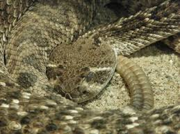 How To Perform Taxidermy On A Rattle Snake Rattlesnake Keep Snakes Away Snake