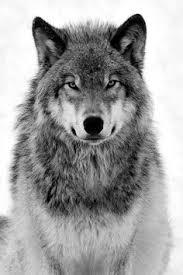 100 Silver Wolf Ideas Silver Wolf Wolf Native American Art