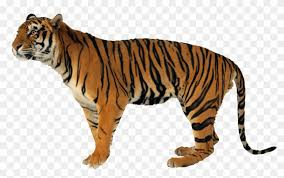 tiger hd images free tiger