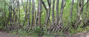 Living Trees As Fence Posts
