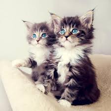 خلفيات قطط كيوت احلي صورخلفيات لعشاق القطط الكيوت جميله اوي