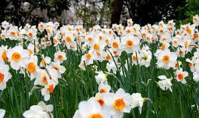 النرجس زهور أعشاب الحديقة ربيع خلفية مجانا الصور الحصول