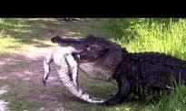 Video Alligator Climbs Up Front Door Of South Carolina Home