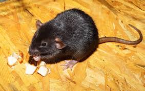 effective home remes to get rid of rats