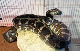 scylla carpet python an unusual guest