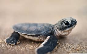 54 baby turtle wallpapers on wallpaperplay