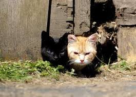 County's More than 10,000 Feral Cats Pose Health, Ethical Dilemma | News |  chronline.com