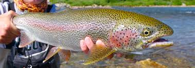 rainbow trout wallpapers free pictures