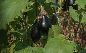 growing eggplants for fun or profit