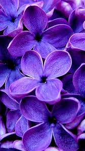 the iphone wallpapers purple flowers