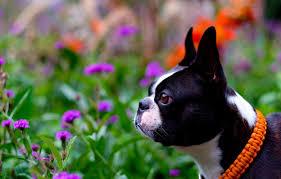 wallpaper face flowers portrait dog