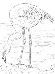 Chileense Flamingo Kleurplaat Gratis Kleurplaten Printen