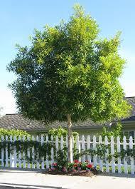water gum 2m advanced backyard trees