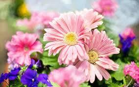 light pink flowers desktop wallpaper