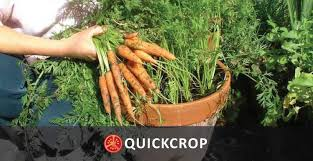 how to grow carrots in containers the