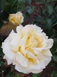 صورة وردة بيضاء