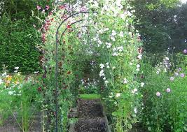 Sweet Pea Tunnel Climbing Plants Fence Cottage Garden Planting Flowers