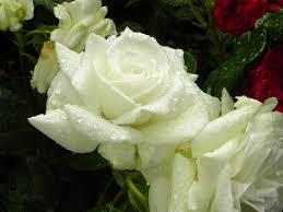 صور الورود البيضاء