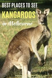 where you can see kangaroos in melbourne