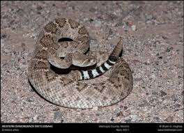 Snake Species Found In The Tucson Area