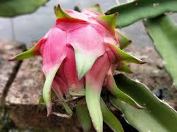 吃火龙果顺便扣点种子,花盆一埋长成树,邻居看了啧啧称奇!
