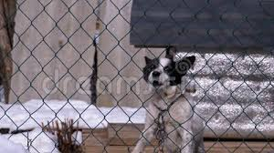 Guard Dog On A Chain Behind The Fence On The Backyard Barks At People In Winter Stock Footage Video Of Cage Barking 173363970