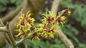 witch hazel flowers hamamelis with