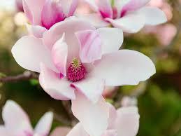 Fiore Di Magnolia Rosa Primavera - Foto gratis su Pixabay