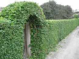 20 Green Fence Designs Plants To Beautify Garden Design And Yard Landscaping Fence Landscaping Natural Fence Green Fence