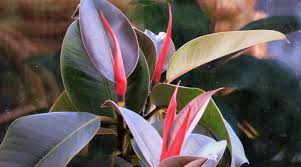 how to take care of a rubber tree plant